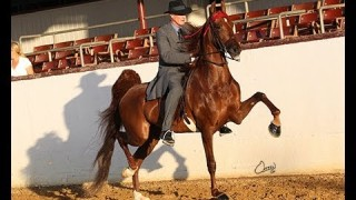 For Sale: 3 Gaited Mare