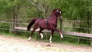 dutch harness horse Aureool
