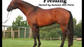 Fielding – Hanoverian Hunter Stallion