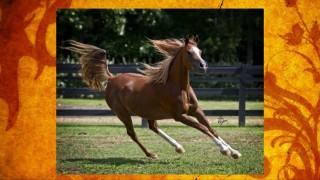 Straight Egyptian Mare Asmara Ali ~ Available For Purchase