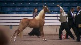 TN Walking Horse Celebration Faces New Tests