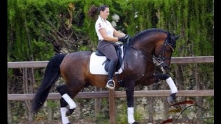 DRESSAGE PRE HORSE FOR SALE
