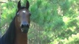 RD Hi-Definition- 2011 Purebred Bay Western Pleasure Gelding, 3 years old