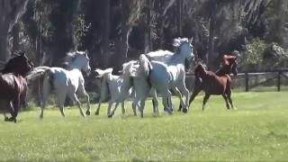 The Al-Marah Herd Arrive Home!