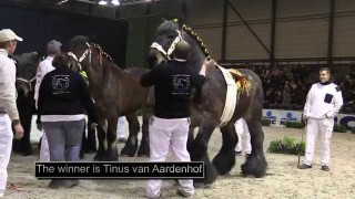 Belgian Draft Horse National Competition