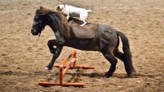 Jack Russell Rides Miniature Horse