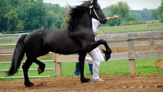 Friesian Horse Keurings ~ be there!