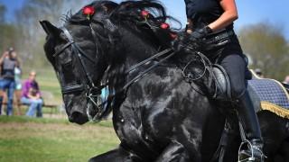 Tribute of KFPS Friesian Stallion Alert 475 Sport