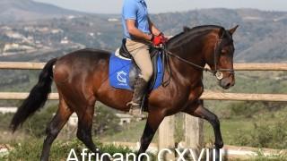Africano CXVIII PRE Hengst Stallion