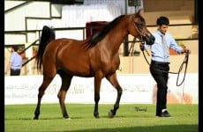 arabian-horses-nawaf-al-johani