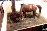 bathsheba-foaling-june-23rd-2015