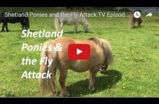 Shetland Ponies and the Fly Attack